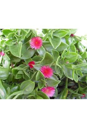 1001fidan Aptenia Cordifolia, Buz Çiçeği