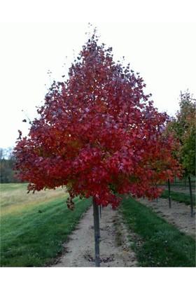 1001fidan Acer Rubrum Kırmızı Akçaağaç Fidanı