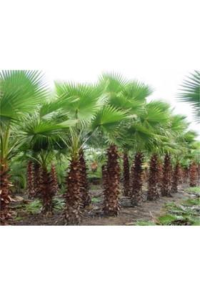 1001fidan Washıngtonıa Filifera Palmiye Fidanı 40 - 60 cm