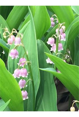 1001fidan Convallarıa Majalis Rose, Pembe Müge Çiçeği, İnci Çiçeği Fidesi