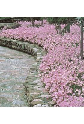 1001fidan Oenothera Berlandieri Siskiyou Pink Akşam Çuhaçiçeği, Ezan Çiçeği
