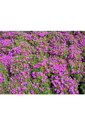 1001fidan Mesembryanthemum Acem Halısı