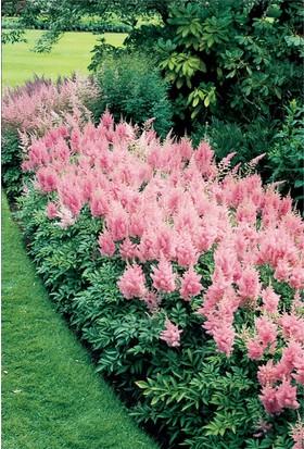 1001fidan Astilbe Simplicifolia 'İnshriach Pink' Bodur Yalancı Keçi Sakalı Fidanı
