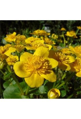 1001fidan Caltha Palustris, Marsh Kadifesi, Bataklık Nergisi, Fidesi