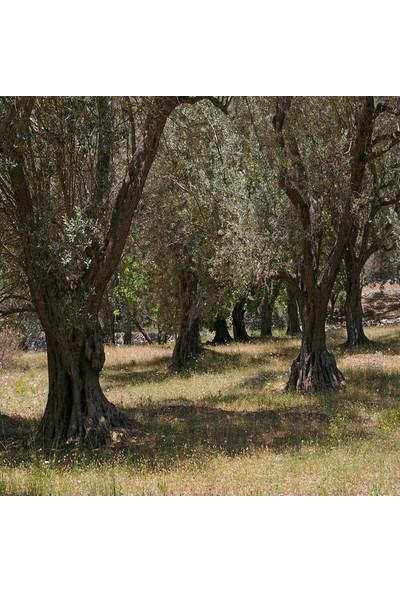 Ege Bahçesi Doğal Siyah Zeytin (Gemlik Tipi)