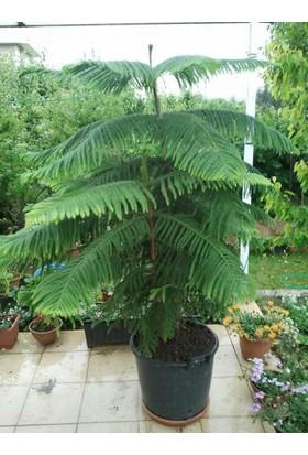 Murat Tohum Arakorya Çamı Ağacı Salon Çamı Ağacı Tohumu 3 Adet Tohum