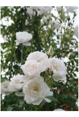 Taşkar Peyzaj Beyaz Gül Fidanı Yediveren - Kokulu ( Tüplü )