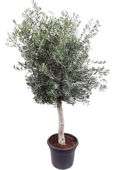 Zeytin Fidanı Tüplü 60 - 80 cm