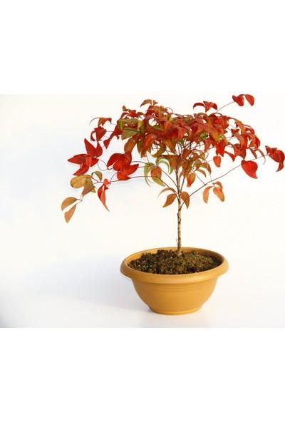 Tunç Botanik Bonsai Nandina Hediyelik