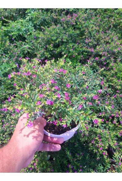 Tunç Botanik Kufeya Cennet Çiçeği Pembe ve Beyaz 20 Adet Paket