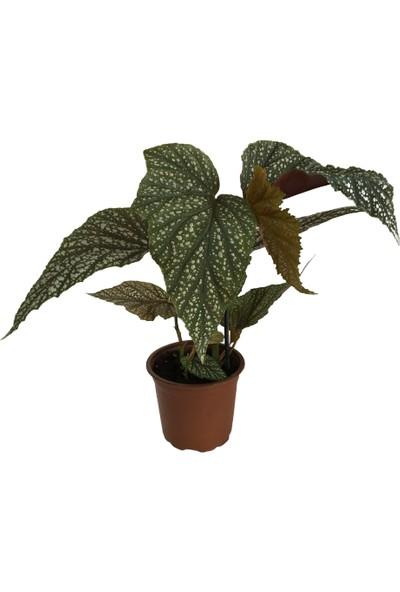 Armenbotanik Çilli Begonya Çiçeği Begonia Aconitifolia Melek Kanadı