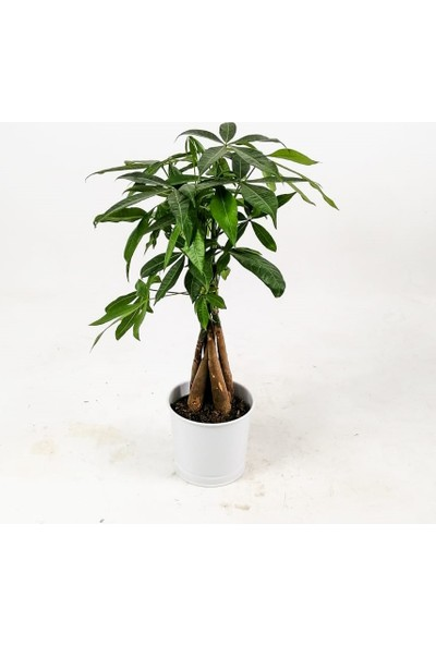 Fidan Burada Pachira Aquatica-Mini Örgülü Para Ağacı 40-50 cm Beyaz Dekoratif Saksılı