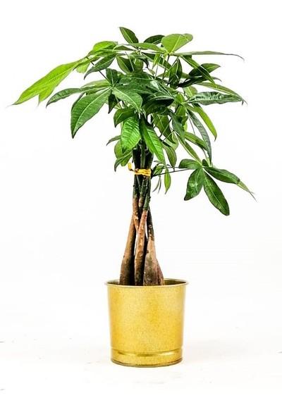 Fidan Burada Pachira Aquatica-Mini Örgülü Para Ağacı 40-50 cm Gold Dekoratif Saksılı