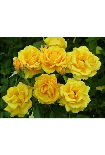 Taşkar Peyzaj Sarı Gül Fidanı Yediveren - Kokulu ( Tüplü )