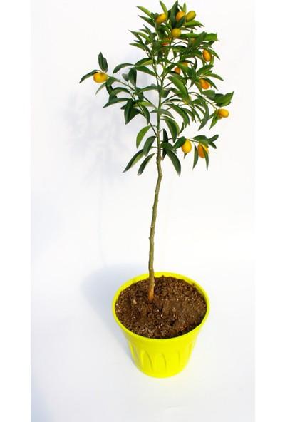 Tunç Botanik Kumkuat Fidanı - Sarı Saksıda