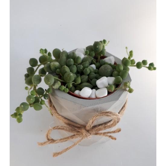Senecio Rowleyanus Boncuk Şekilli Tesbih Çiçeği Skulent
