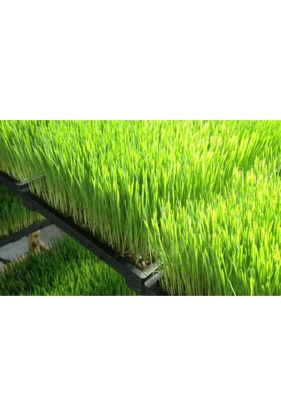 Murat Tohum Buğday Çimi Tohumu 500 Adet Buğday Çimi Tohumu