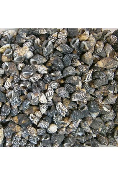Turkuaz Deniz Kabuğu 500 gr Paket Nassarıus Gaudıosus