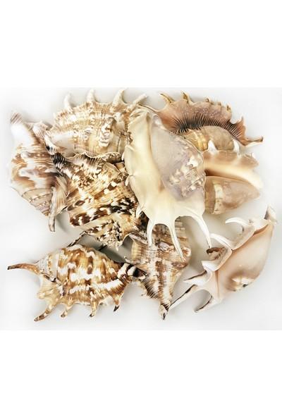Turkuaz Deniz Kabuğu 500 gr Paket Lambıs Lambıs (Kg)