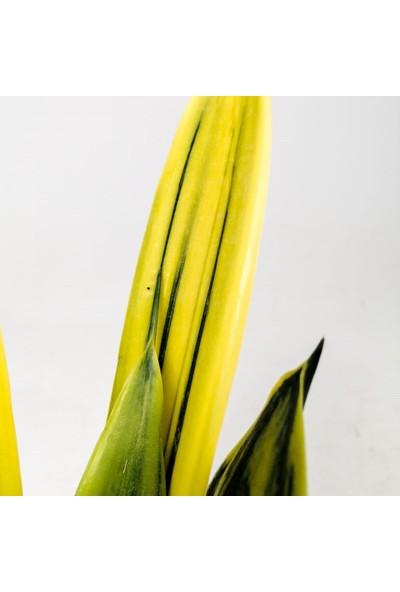 Fidan Burada Sarı Paşa Kılıcı - Sansevieria Trif. Gold Flame