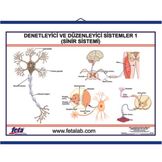Edulab Denetleyici ve Düzenleyici Sistem Levhası Sinir Sistem