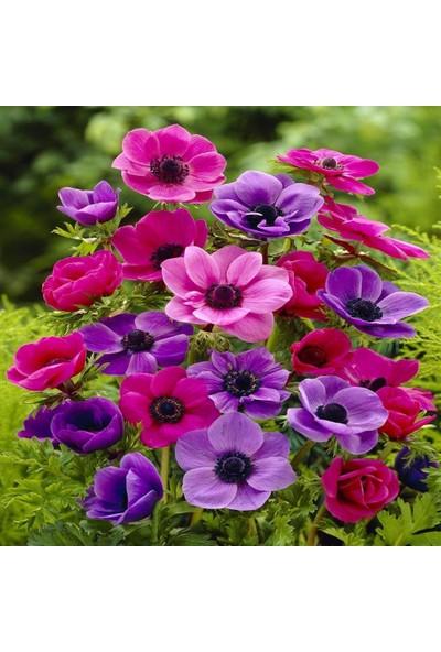Baktar Coronaria St. Brigid Mix Karışık Anemon Çiçeği Soğanı 5'li