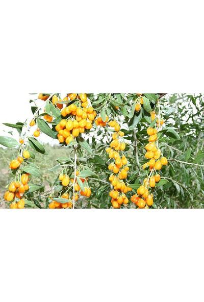 Tunç Botanik Sarı Goji Berry Fidanı