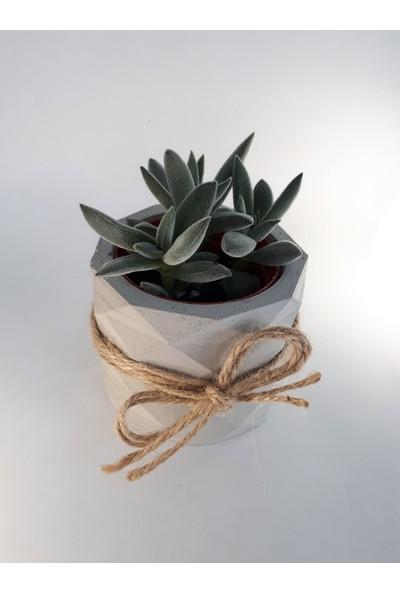 My Succulent Crassula Hispida Pempe Çiçek Açan Tüylü Sukulent