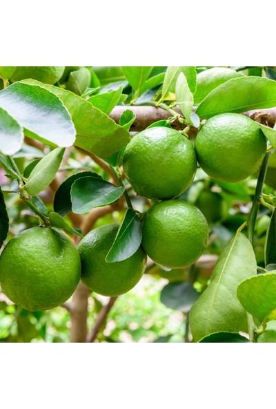 İdea Bahçe Tüplü Aşılı Çekirdeksiz Limon Lime Quat Fidanı