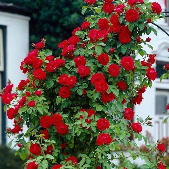 İdea Bahçe Kokulu Red Beauty Kırmızı Yediveren Sarmaşık Gül Tohum 10 Tohum