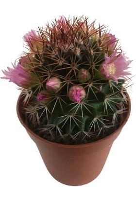 Armenbotanik Mammilaria - Doğal Çiçekli Kaktüs (Çiçeği Üzerinde)