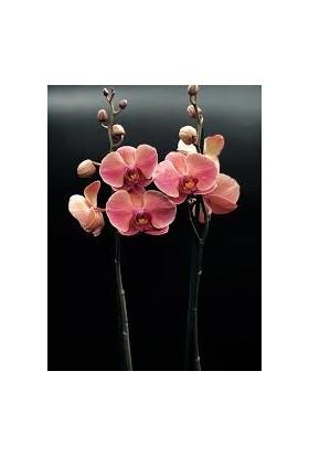 Boothas Asian Koral Orkide Çiçeği Tohumu 15 Adet + Saksı + Torf