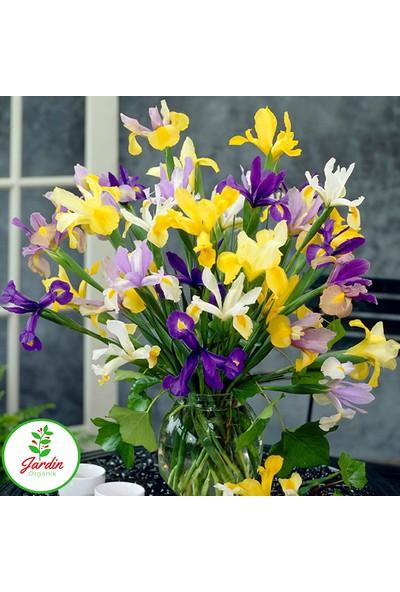 Oxe Garden İris Süsen Çiçeği Soğanı 5'li Doğal Mis Kokulu Ev Bahçe İçin İdeal