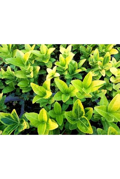 Tunç Botanik Gold Taflan 45 Adet - Sarı Çit Bitkisi