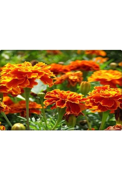 Kadife Çiçeği Tohumu 50 Adet Kokulu