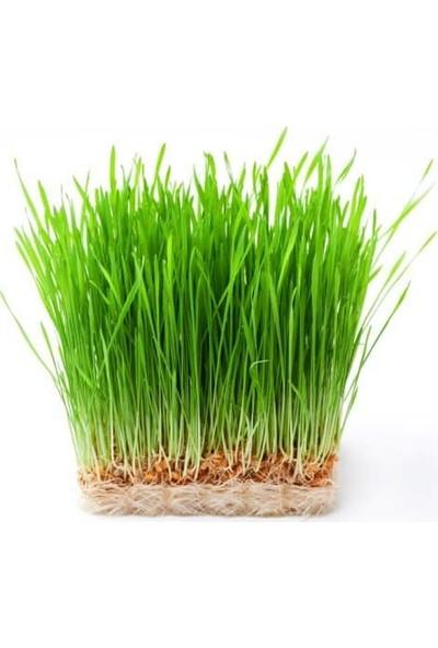 Murat Tohumculuk Murat Tohum Buğday Çimi Tohumu Ekim Seti 500 Adet Buğday Çimi Tohumu + Saksı + Toprak