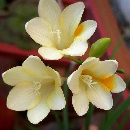 Oxe Garden Frezya Çiçeği Soğanı 10'lu Doğal Karışık Renklerde Çiçek Soğanı Ev Bahçe İçin İdeal Mis Kokulu