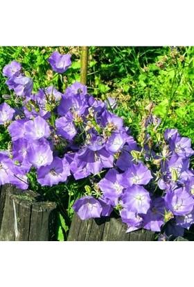Ata Tohumculuk 10 Adet Tohum Nadir Çan Kadehi Çiçeği Tohumu Çiçek Tohumu Saksı Toprak