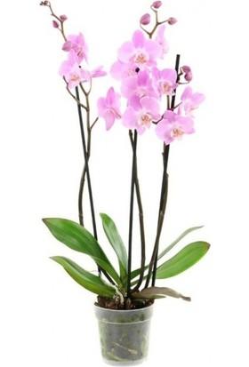 Çam Tohum Nadir Ithal Pembe Orkide Tohumu Ekim Seti 5 Tohum Çiçek Tohumu Saksı Toprak Kombin
