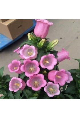 Çam Tohum Pembe Çan Çiçeği Tohumu Ekim Seti Kadeh Çiçeği Tohumu 10 Tohum Saksı Toprak Kombin