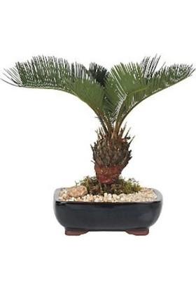 Çam Tohum Nadir Ithal Palmiye Bonzai Ağacı Tohumu Ekim Seti 3 Tohum Saksı Toprak Kombin