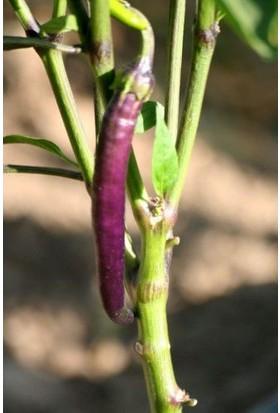 Çam Tohum Nadir Ithal Acı Mor Sivri Biber Tohumu 5 Tohum