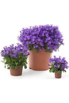 Çam Tohum Mor Çan Çiçeği Tohumu Kadeh Çiçeği Çiçek Tohumu 10 Tohum