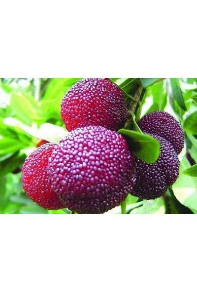 Çam Tohum Ithal Tropikal Çin Çileği Tohumu Ekim Seti Myrica Tohumu Çin Çileği Meyvesi 2 Tohum Saksı Toprak Kombin