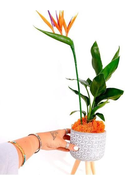 Çam Tohum Çok Nadir Cennet Kuşu Orkide Çiçeği Tohumu Ekim Seti 2 Tohum Saksı Toprak Kombin