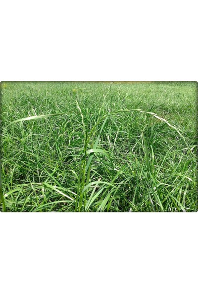 İlk Adım Reygrass Otu (Süt Otu) Tohumu 5 kg Sertifikalı