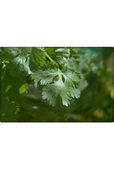 Küçük Çiftlik Maydanoz Tohumu (25 Gr) Geniş Yaprak