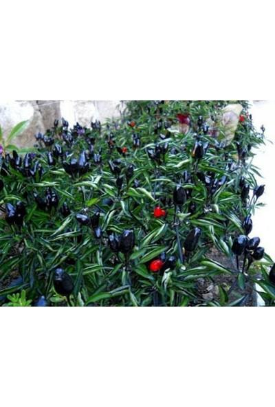 Çam Tohum Süper Paket 5 Tohum Nadir Ithal Çok Acı Siyah Süs Biberi Tohumu