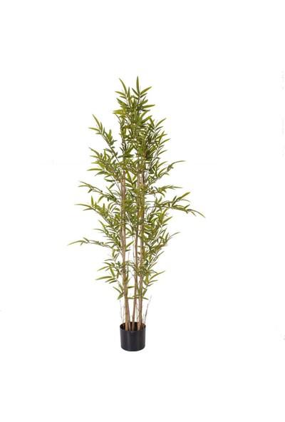 Çam Tohum Nadir Ithal Yeşil Bambu Tohumu Ekim Seti 5 Tohum Saksı Toprak Kombin