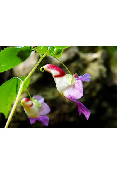 Çam Tohum Çok Nadir Yeni Zellanda Kuş Orkide Çiçeği Tohumu 5 Tohum Orkide Tohumu